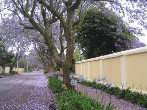 Jacaranda trees Greenside Johannesburg